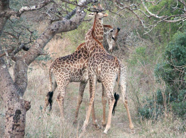 Dancing in the wild Two male giraffe necking (fighting)