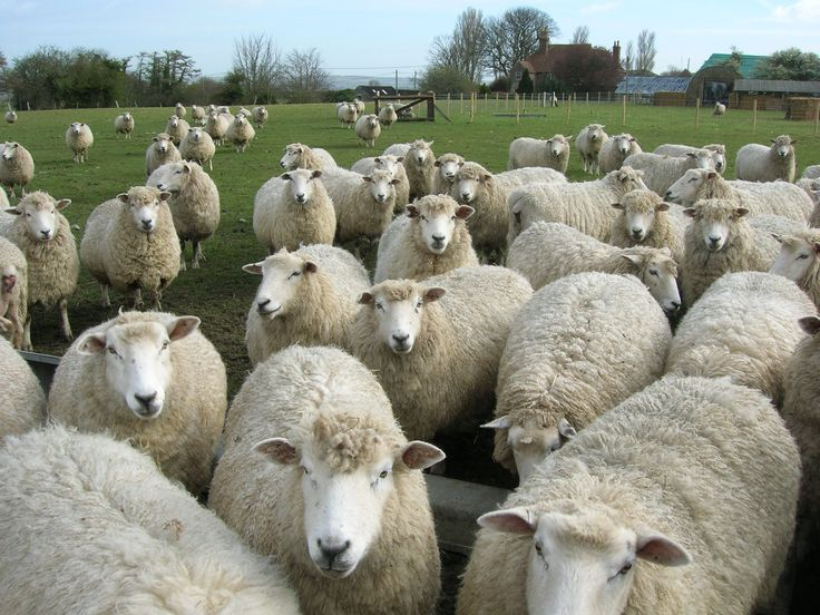Romney Flock - They are just so curious!