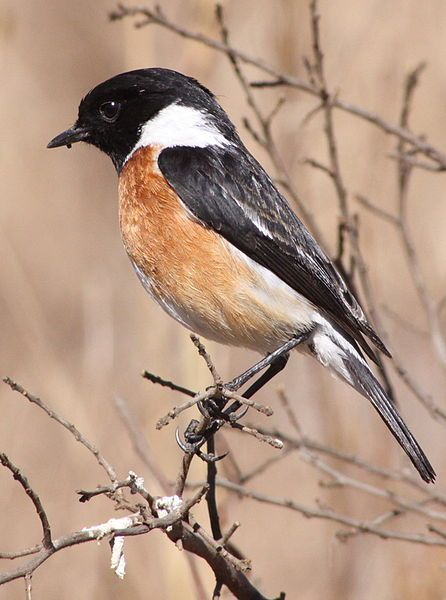 African Stonechat, Saxicola tor-quatus -South Africa -male. Old World flycatcher family