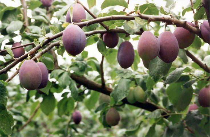 Image result for papaya fruit liberia africa plums