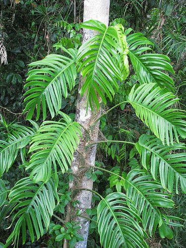 HOA GIEO TỨ TUYỆT - Page 12 0d484acea92f55b9f2f918764550301b--epipremnum-pinnatum-philodendron