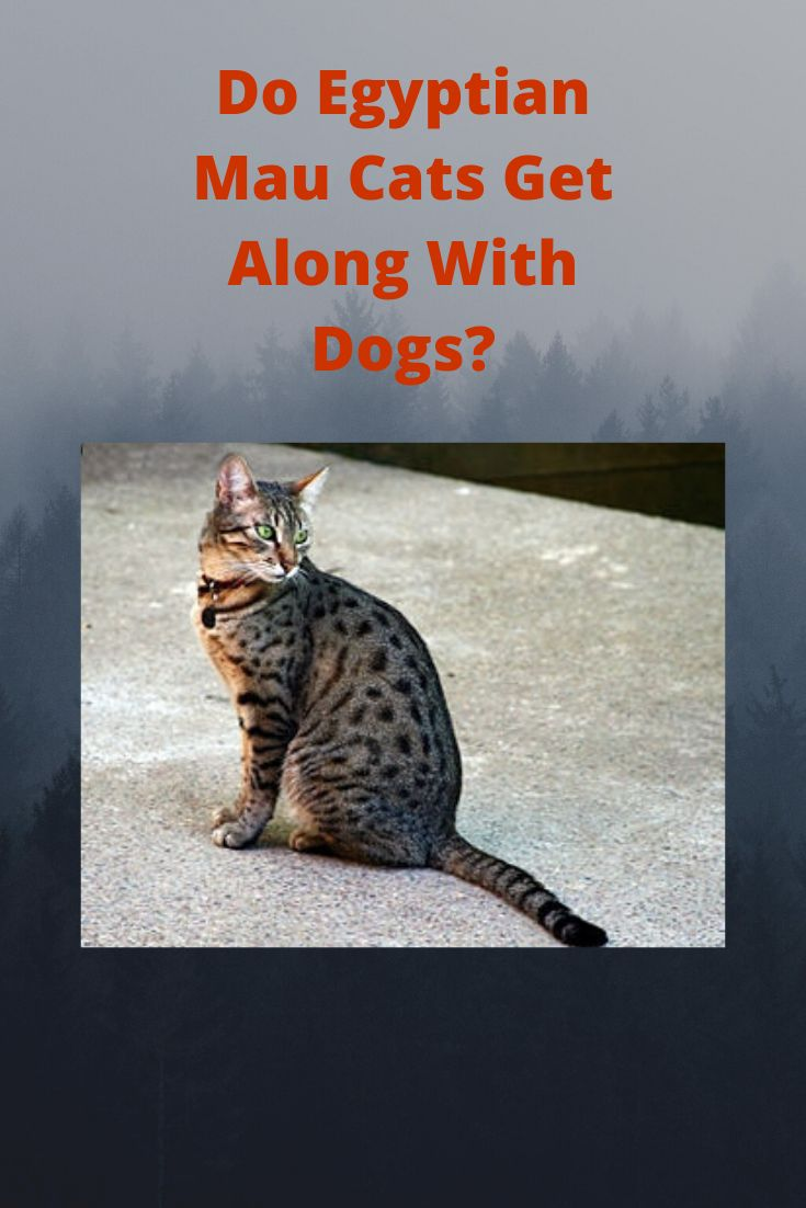 Do egyptian mau cats get along with dogs en 2020