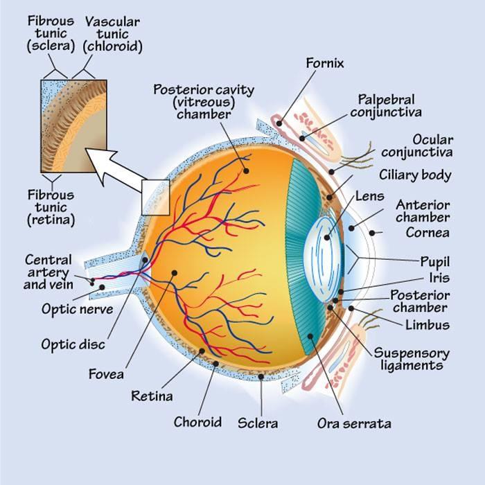 Anatomia dell'occhio  Test BIOLOGIA: http://compitoinclasse.org/ammissione-universita-numero-chiuso/programma-materia-studio/biologia.php