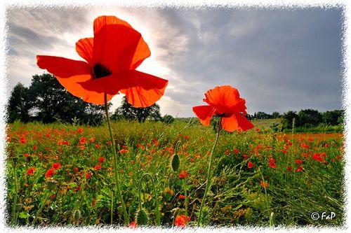 Campo di papaveri / 1   Flickr – Condivisione di foto!