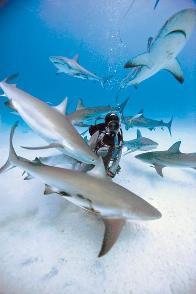 Google Image Result for http://www.mid-day.com/imagedata/2009/aug/3008shark1.jpgBucketlist, Buckets Lists, Swimming With Sharks, Google Search, Life Lists, Dreams Come True, Bahamas, Bucket Lists, Travel Buckets