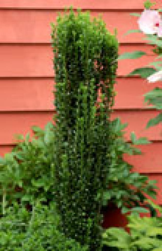 Which of These 5 Beautiful Holly Shrubs Is Right for You?: Sky Pencil