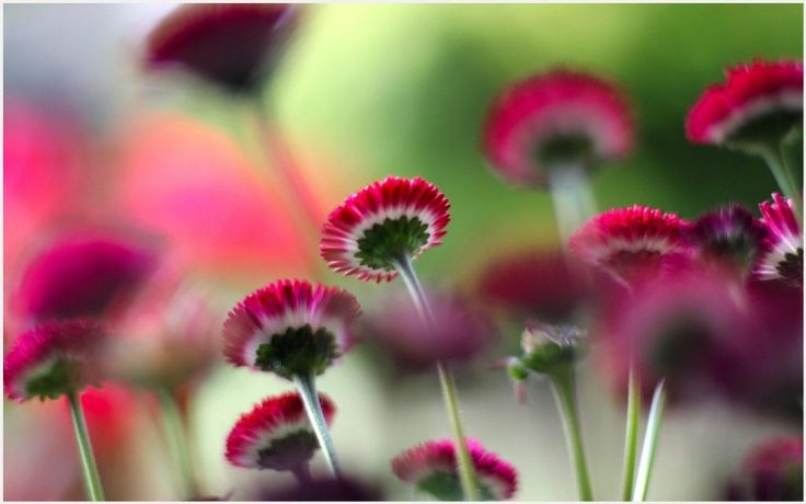 Small Red Flowers Wallpaper   small red flower wallpaper