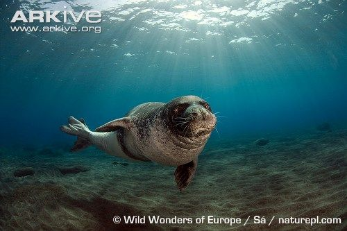 Mediterranean Monk Seal (Monachus monachus) -- Critically Endangered -- Shy and elusive, Mediterranean monk seals are sensitive to disturbance and have been driven from much of their traditional range by human encroachment.