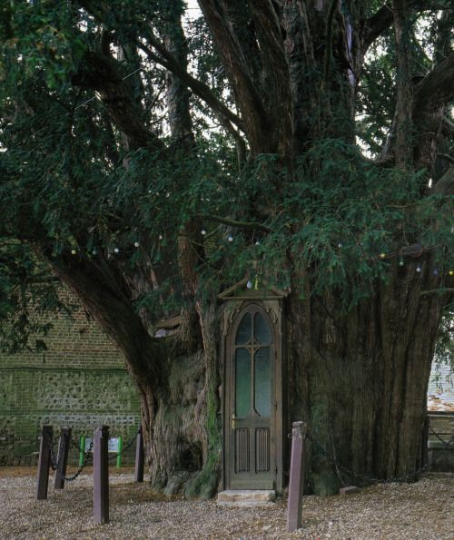 malformalady:  A chapel built in a yew trunk in La Haye-de-Routot, France