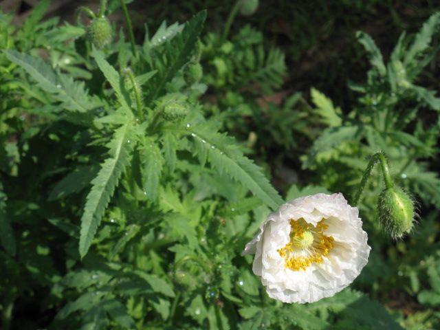 植物編のケシ科のヒナゲシ(雛罌粟)
