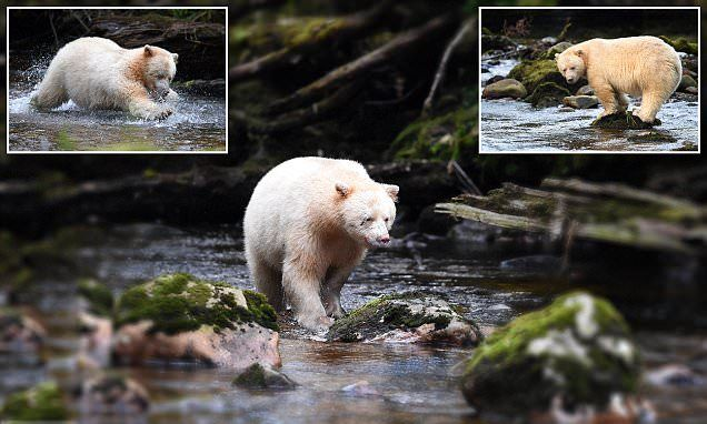 White 'spirit bear' pictured hunting for salmon in Canada | Daily Mail Online