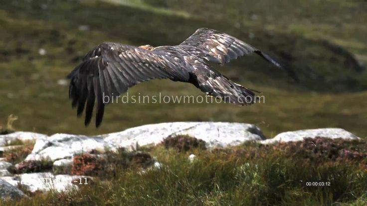 Golden Eagle Slow Motion Taking Off Shot on Phantom HD Gold on Vimeo