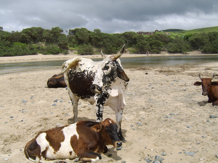 Cows on the beach in Coffee Bay, Transkei, Eastern Cape, South Africa
