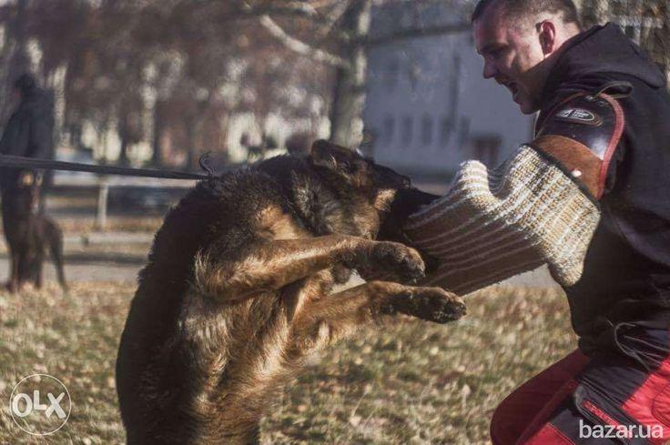 Дрессировка собак. Общий курс дрессировки,ЗКС(защитно-караульная служба)охрана…