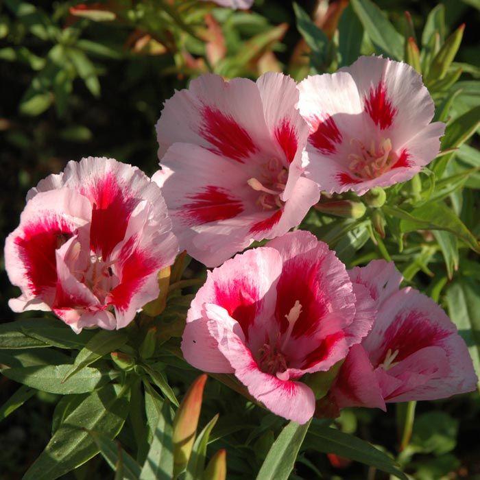 ATLASBLOMMA 'Rembrandt' i gruppen Ettåriga blomsterväxter hos Impecta Fröhandel (8385)