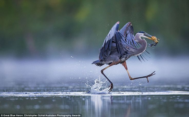 Dancing away on water this Great Blue Heron has just found dinner from this lake in this c...