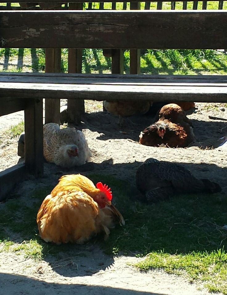 Kippen van Geitenboerderij Ridammerhoeve, nemen een zandbad ( Amsterdamse bos)