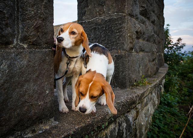 Defending the castle: a Beagle's dream