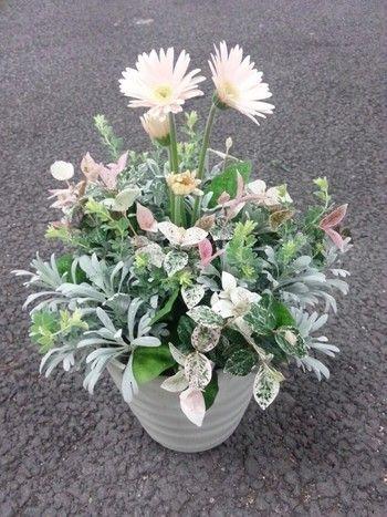 ガーベラ、ハツユキカズラ、木白香、ロータスブリムストーンの寄せ植え。木白香は、葉に細かい毛が生えているシルバーリーフと呼ばれる低木です。同じくシルバーリーフの白妙菊と組み合わせても似たようなイメージになりそうですね。