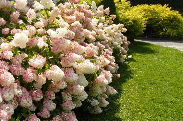 'Little Lamb' Hydrangea Hedge by the Visitor's Center