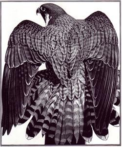 """WOW!! Engraving: """"Peregrine Mantle"""" by Colin See-Paynton"""