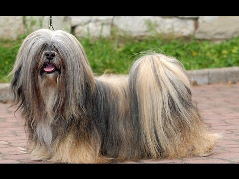 Lhasa Apso Dog Show 2016 WKC Westminster Kennel Club