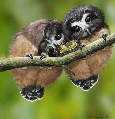 I don't know what kind of owls these are, but they are so cute, I have to pin them anyway!