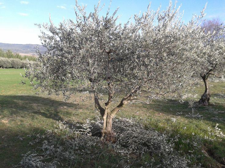 Les 25 meilleures idées de la catégorie Taille des oliviers sur ...