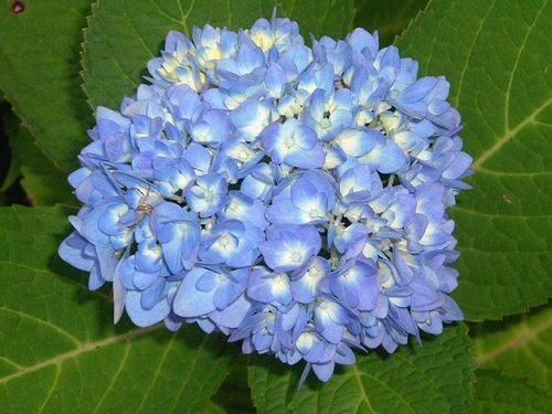 best time to prune hydrangea azaleas and other flowering bushes and trees u0027 - When To Trim Hydrangea