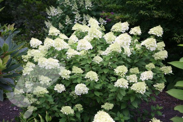 Buy hydrangea Hydrangea paniculata 'Limelight (PBR)': Delivery by Crocus.co.uk