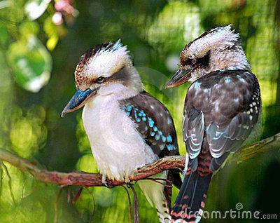 kookaburra birds