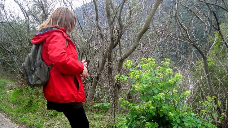 """In the last Roccantica-Catino trip, We started observing ancient #edible plants,, like the """"celery of the romans"""": smyrnium olusatrum"""