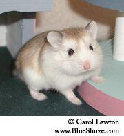 Roborovski Hamster Breed