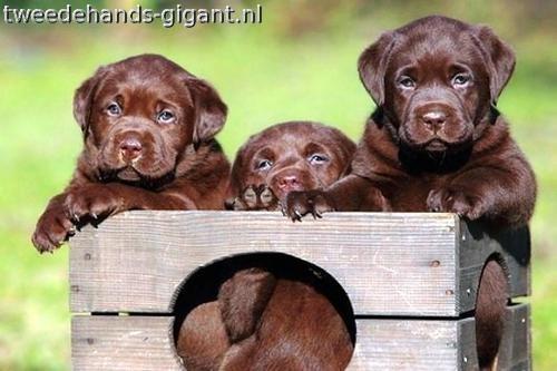 chocolade labrador pups - Google zoeken