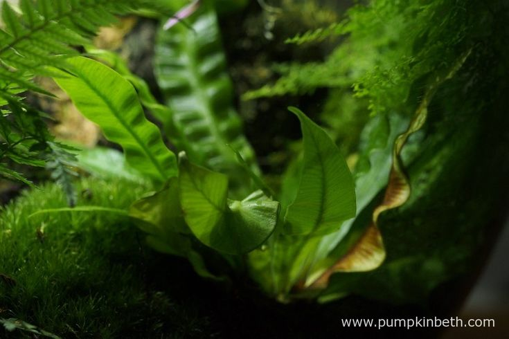 Asplenium nidus 'Crispy Wave' pictured on the 16th September inside my BiOrbAir terrarium. I removed the yellow-brown decaying frond from this fern after I had finished taking my photographs.