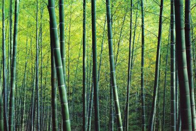 The Bamboo Grove Art Print at AllPosters.com
