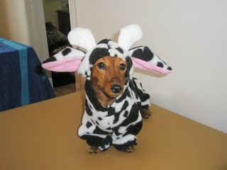 Who's gonna dress her future doxie puppy child in a cow costume? THIS girl!