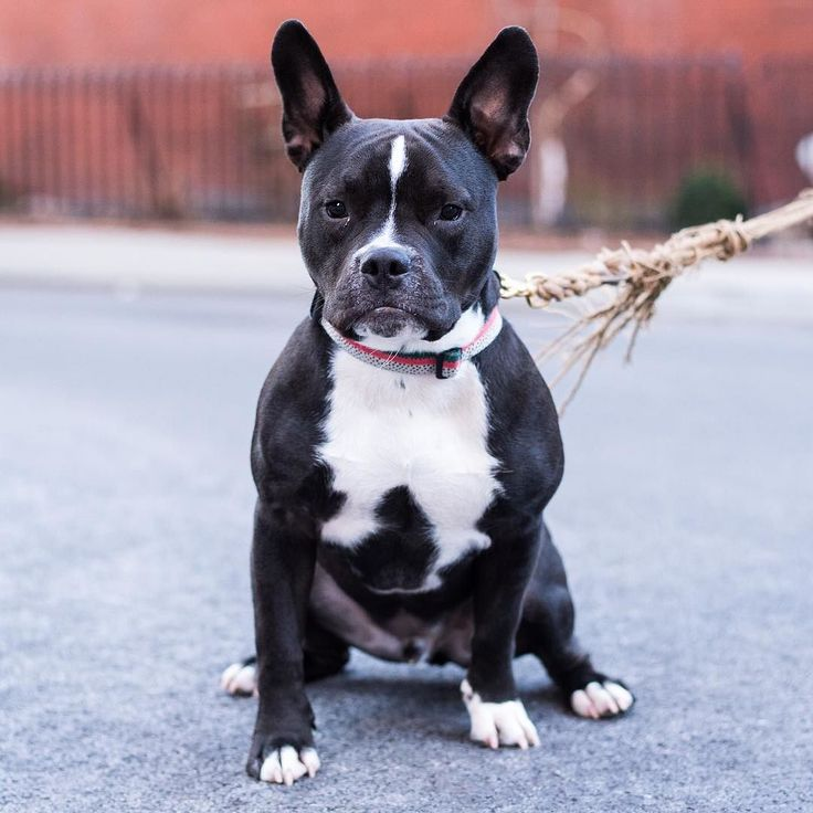 french bulldog pitbull mix 7 best french bulldog mix pitbull images on pinterest 4461