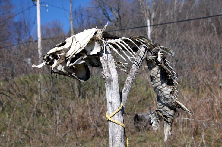 Dead carp at Kagawong