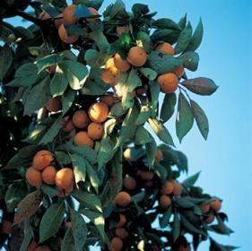 Persimmon Tree Care