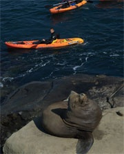 went sea kayaking with my sister while in san diego. this isn't us, but this is how close we came to the sea lions and dolphins!