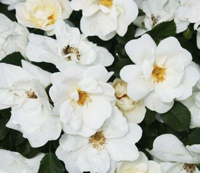 <p>The Closest Thing to a White Knockout Rose!</p>