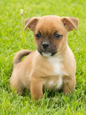 jack russell pug mix puppy 25 best ideas about pug mixed breeds on pinterest pug 8476