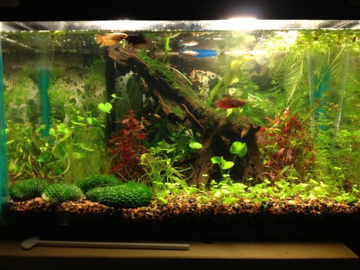 Best 25 betta tank ideas on pinterest betta aquarium for Floating plants for betta fish