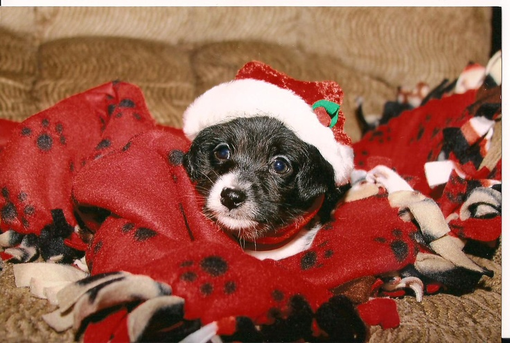 This is our chiwoodle (chihauhau-weenie-poodle), Dita who now lives in Kansas with two beautiful Labs, taken at about 6weeks old for Christmas