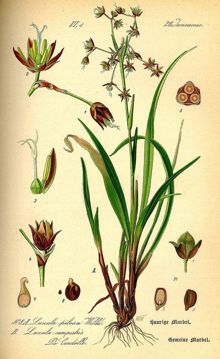 Vårfryle, Luzula pilosa