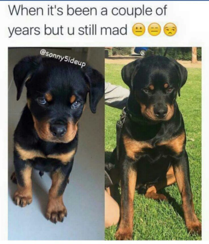 Best 25 rottweiler funny ideas on pinterest mad face