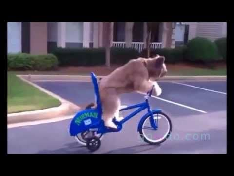 Dog is riding a bike ::: Dog :::  Best Funny Animal Videos   ::: Visit us on www.govido.com to find THE FUNNIEST ANIMAL VIDEOS 2014 Funny Videos, Funny video 2014: cat, cats, dog, dogs, funny dogs, sweet dogs, animal, cute, pets, funny animals, puppies, PLUS: monkey, frog, kangaroo, buffalo, deer, bear, fish, ... and more! Hilarious short videos to make you laugh! ::: @govido