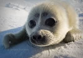 Resultado de imagem para fotos de foca