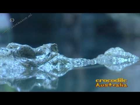 saltwater crocodile - crocodylus porosus - zoutwaterkrokodil - Looking for broadcast footage? Don't shoot! Contact http://www.stockshot.nl/ ©